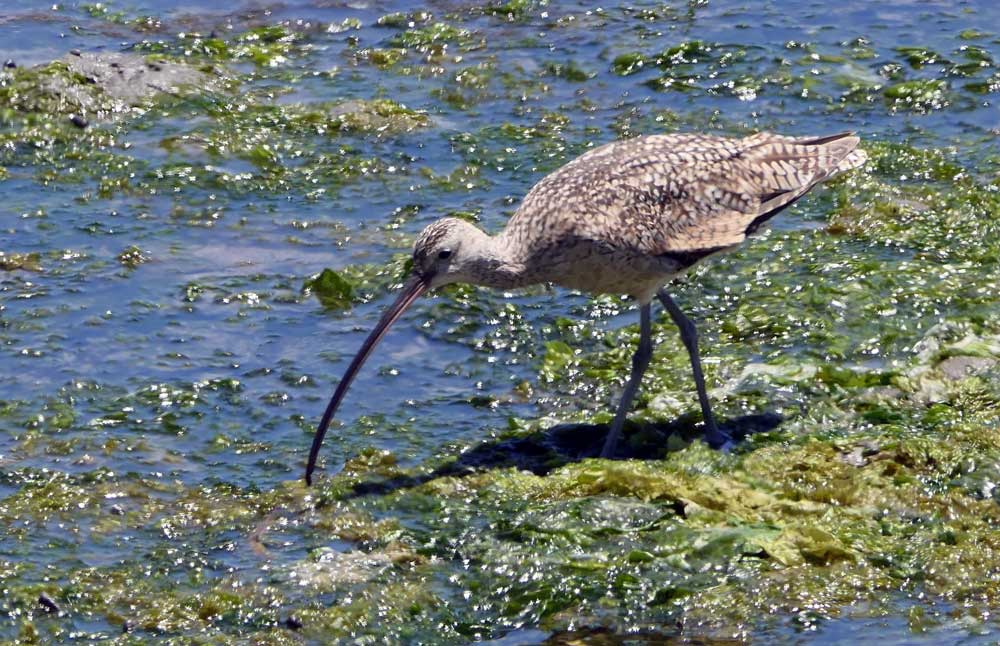 Long-billed Curlew, California