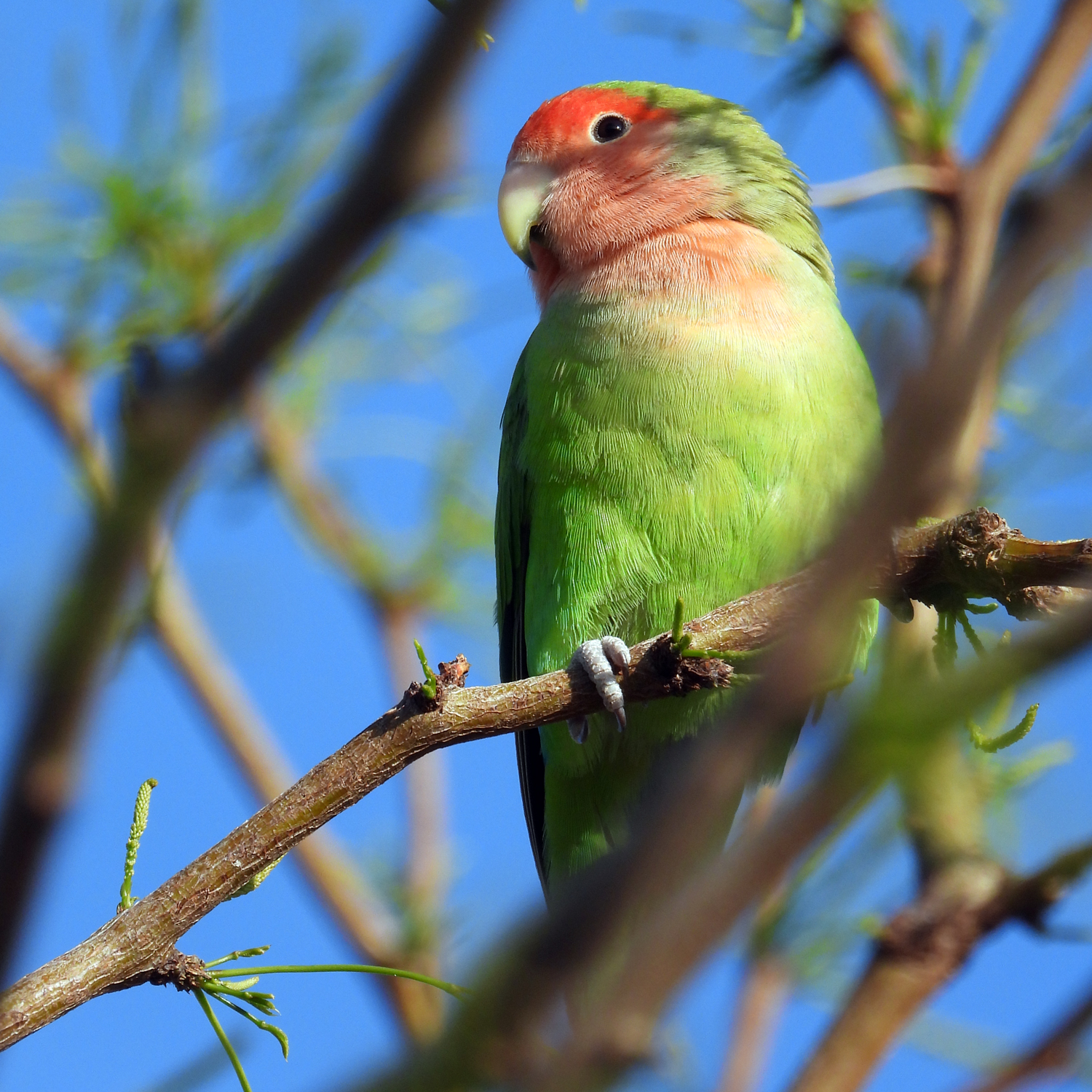 Rose-faced Lovebird